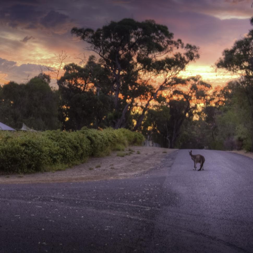 Cape Bouvard Kangaroo